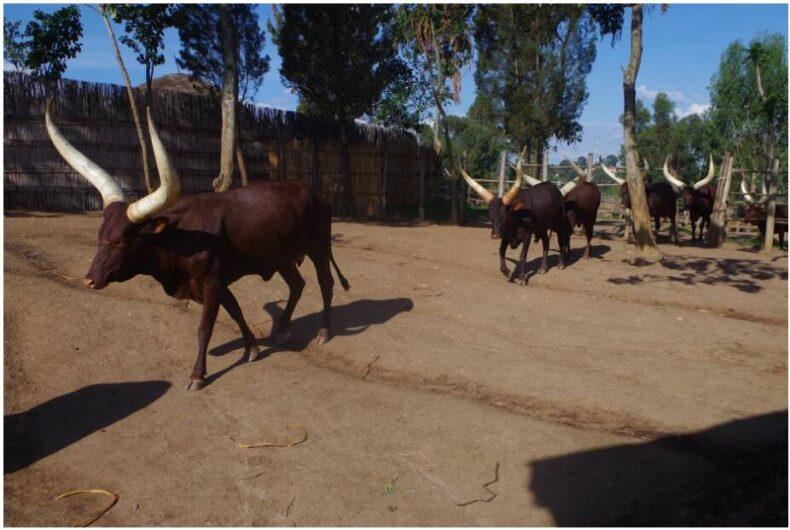 Rwanda Livestock